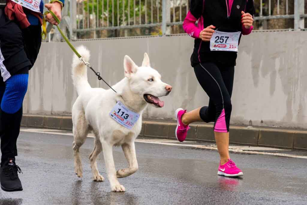 white dog running a race with a person