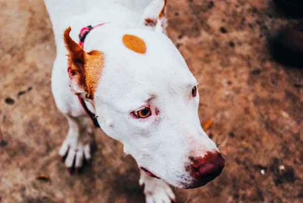 white dog with tan spots looking to the side