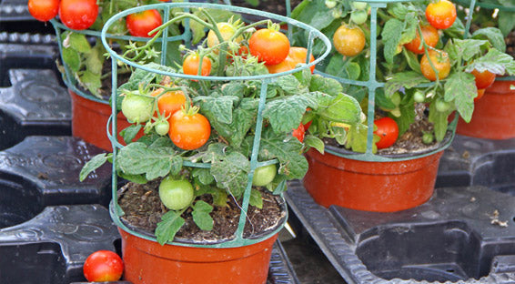 tomatoes in plant pots