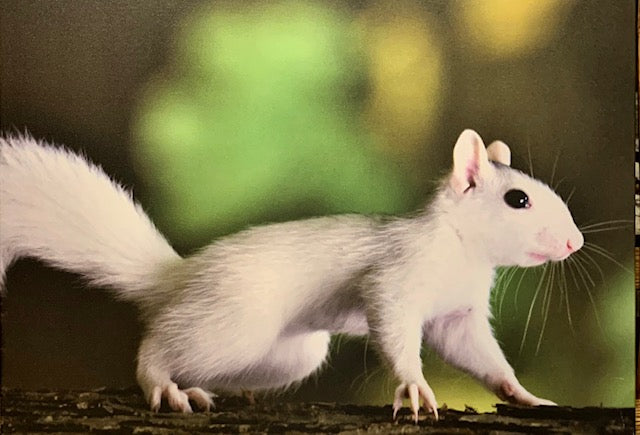 White Squirrel Photo on Canvas