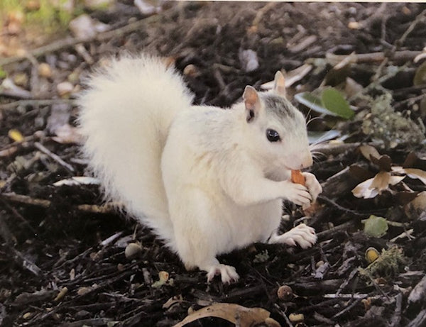 Note Cards - White Squirrel Photography by Ruth Cech