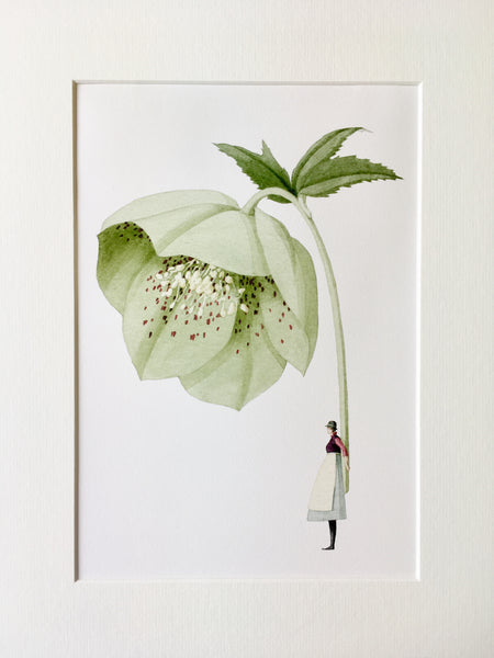 "Hellebore ""In Bloom"" Mounted Print"