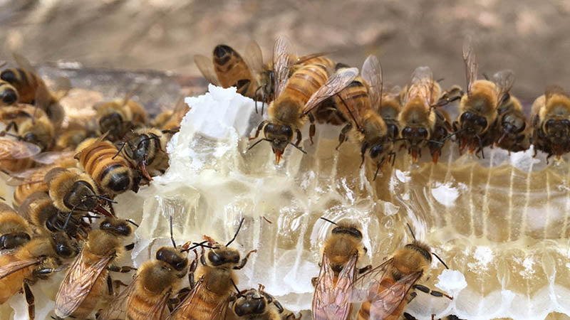 How Do Bees Create Antimicrobial Honey?