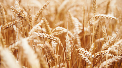 plantur 39 blog wheat protein for stronger hair during menopause