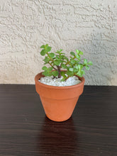 Load image into Gallery viewer, Elephant Bush (Portulacaria afra)