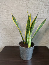 Load image into Gallery viewer, Snake Plant Laurentii (Sansevieria)