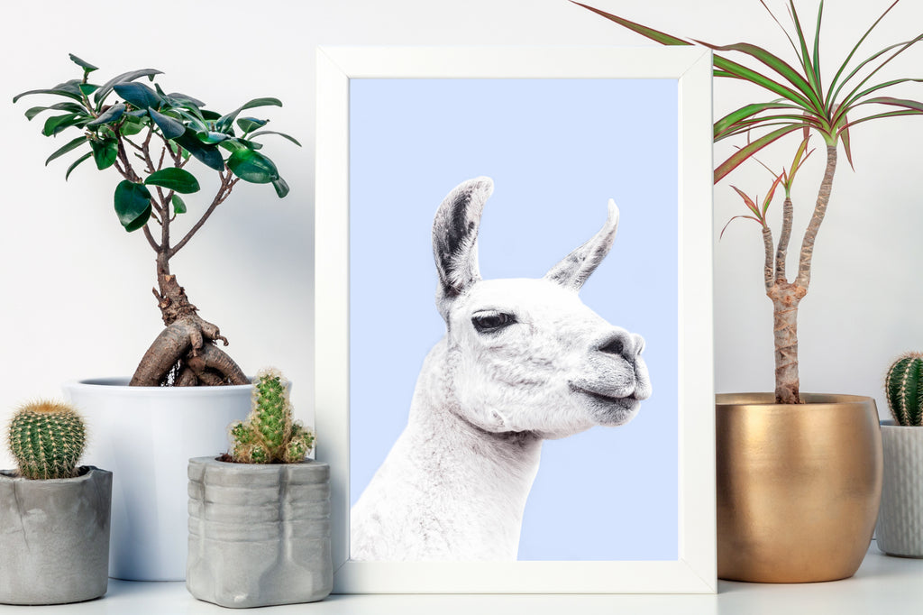 Llama Photography Art Print by Photographer Victoria Frost