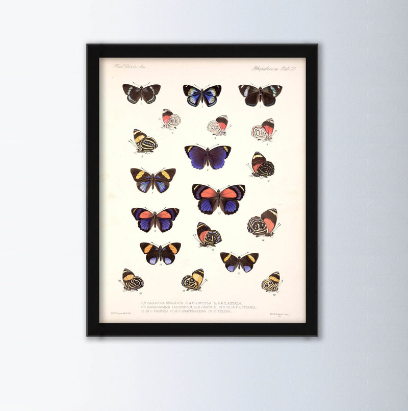 Calicore Neolectra By Frederick Du Cane Godman Animal Art Print, Framed Art Print, Animal Wall Art