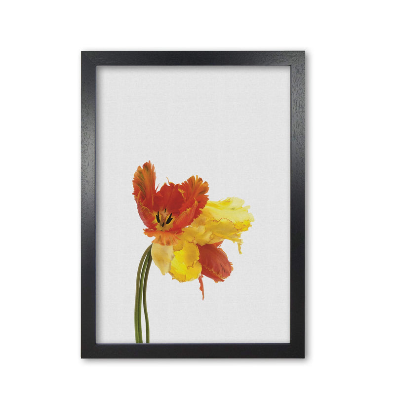 Tulip still life fine art print by orara studio, framed botanical &