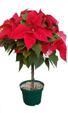 "Tree Form Poinsettia      10"" pot, about 3 feet tall.  These are not your normal Poinsettias"