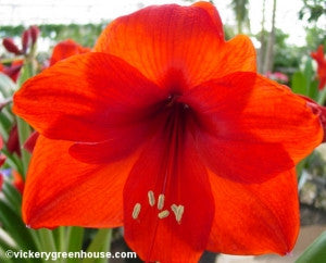 "Amaryllis - Red 6""pot"