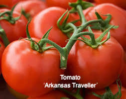 "DRIFTWOOD   Tomato Plant 4"" Arkansas Traveller for walk in purchase at our DRIFTWOOD Flash Garden"