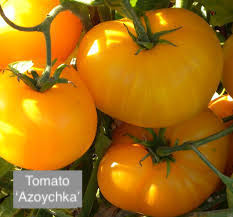 "DRIFTWOOD   Tomato Plant 4"" Azoychka  for walk in purchase at our DRIFTWOOD Flash Garden"