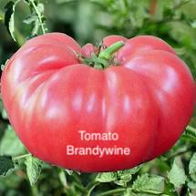 "DRIFTWOOD   Tomato Plant 4"" Brandywine for walk in purchase at our DRIFTWOOD Flash Garden"
