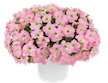DRIFTWOOD Specialty Petunia Qt  Capella, Cascadias Assorted Colors for walk in purchase only - at our DRIFTWOOD  Flash Garden