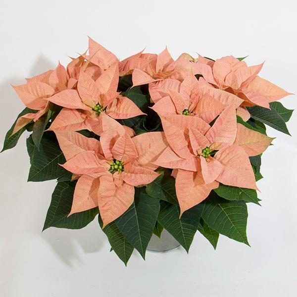 "Poinsettias - These are the very Best. Reserve Yours Early - limited numbers- They make great gifts. Ready for delivery starting week of 12/02/19 Please also add the item ""Poinsettia & Wreath Delivery"" prompts to pick delivery day&time"
