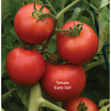 "DRIFTWOOD  Tomato Plant 4"" Early Girl  for walk in purchase at our DRIFTWOOD Flash Garden"