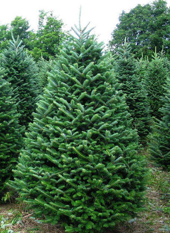5)   Early Order Christmas Tree - Fraser Fir - includes Delivery, Haul Off, Free Use of Stand