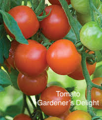 "DRIFTWOOD  Tomato Plant 4"" Gardener's Delight  for walk in purchase at our DRIFTWOOD Flash Garden"