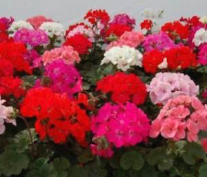 "LAKEWAY Geranium 6"" Assorted Colors for Walk In Purchase at our LAKEWAY Flash Garden"