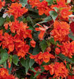 "LAKEWAY Mistral Begonia 10""Hanging Basket for walk in purchase at our LAKEWAY Flash Garden"