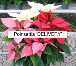 Poinsettia & Wreath Delivery