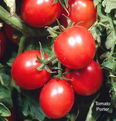 "DRIFTWOOD  Tomato Plant 4"" Porter  for walk in purchase at our  DRIFTWOOD  Flash Garden"