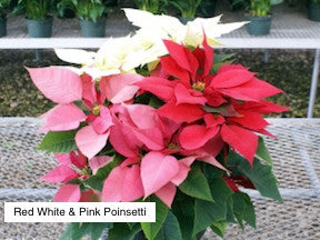 Poinsettias from