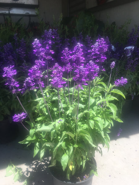 "DRIFTWOOD  Evolution Violet Salvia farinacea  4""pot  for walk in purchase only - at our DRIFTWOOD Flash Garden"