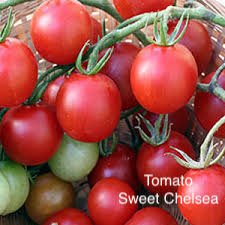 "DRIFTWOOD  Tomato Plant 4"" Sweet Chelsea Tomato  for walk in purchase at our  DRIFTWOOD  Flash Garden"