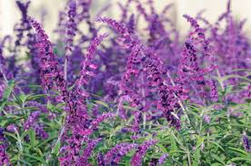 "LAKEWAY  Salvia leucantha 'Midnight' 4"" Mexican Bush Sage Purple/Purple for walk in purchase at our LAKEWAY Flash Garden"
