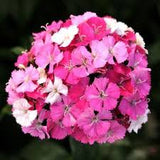 "2) Dianthus 4"" New Tall Varieties (Pinks)"