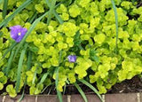 "Lysmachia 4"" Creeping Jenny - Special Flash Garden Day Of Pricing"