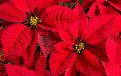 5) Poinsettias - These are the very Best. Reserve Yours Early - limited numbers- They make great gifts. These should be available for delivery starting the week of 12/02/19