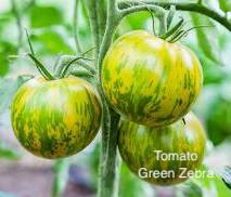"DRIFTWOOD  Tomato Plant 4"" Green Zebra for walk in purchase at our DRIFTWOOD Flash Garden"