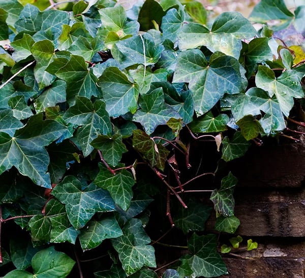 "LAKEWAY  English Ivy 4"" Hedera helix  for walk in purchase only (at our LAKEWAY Flash Garden)"