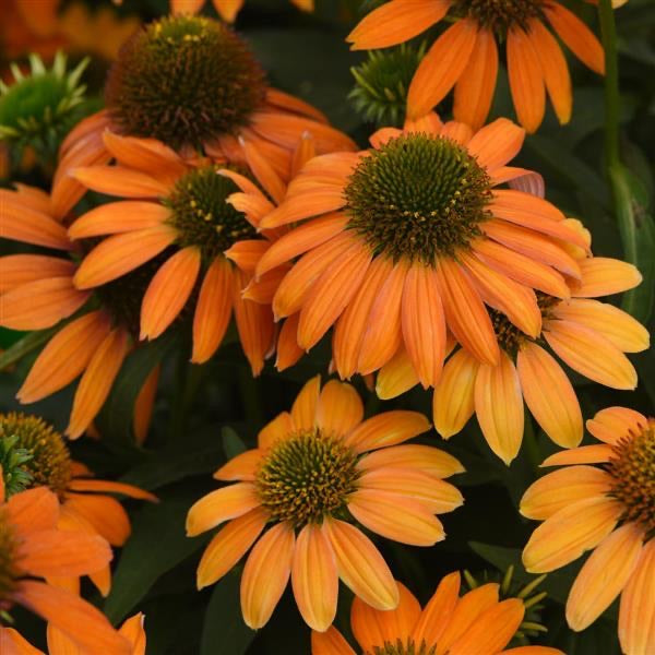 Artisan Soft Orange Coneflower #1 Echinacea