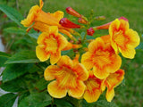 Sparklette Esperanza  3g Yellow Bells    Tecoma    Orange Esperanza   Orange Yellow Bells