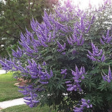 Shoal Creek Chaste Tree #5 Vitex