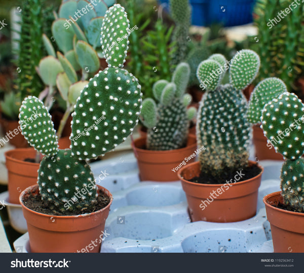 Mickey Mouse Cactus 1g         Nopales