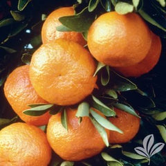 Citrus Pre-Order for pick up only at  DRIFTWOOD Owari Satsuma 5g  we will notify you when they arrive