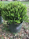 Boxwood Topiary Globe 10sq