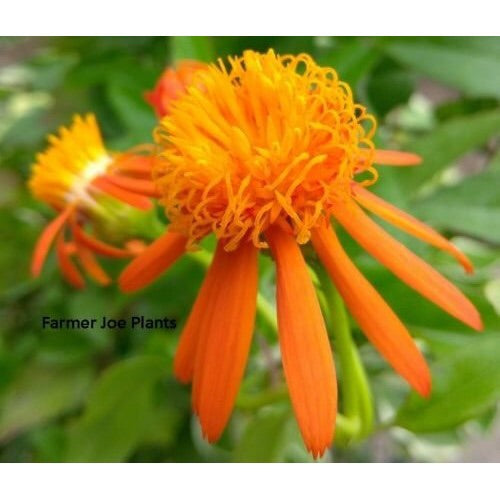 "10"" Mexican Flame Vine  caged     Senecio"