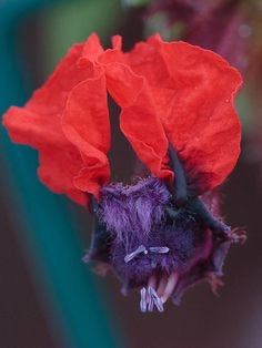 "Cuphea 4"" Bat Faced 'Georgia Scarlet'"