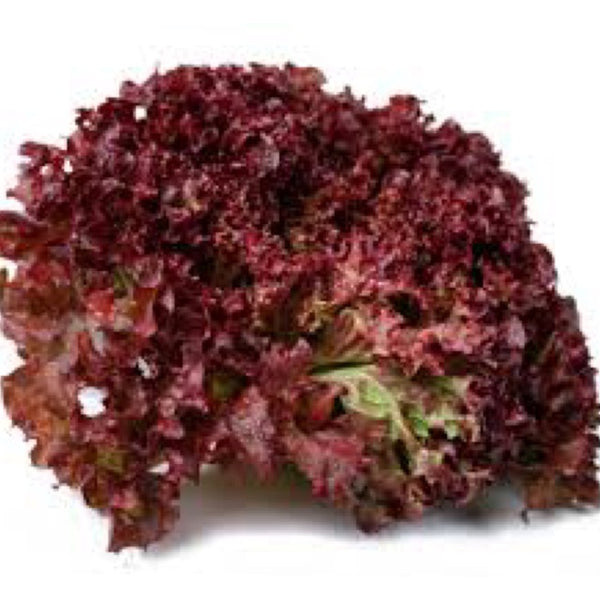 "DRIFTWOOD  4"" Dark Lolla Rosa Lettuce for walk in purchase at our DRIFTWOOD Flash Garden"