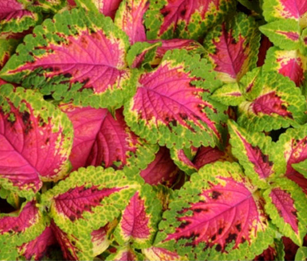 "Versa Watermelon Coleus 4""    Shade or Sun"