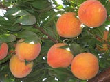 Pre-Order  Whole Box (1/2 Bushel) Fresh Peaches for customer Pick Up at FCV DRIFTWOOD pick up on Friday 7/17/20  4:00pm - 6:00pm