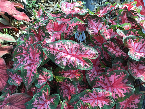 "LAKEWAY Carolyn Wharton Caladium 4"" - pink & green splotches      for walk in purchase only - at our LAKEWAY Flash Garden"