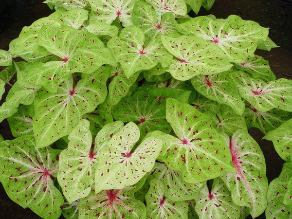 "Caladium 4"" Miss Muffet"