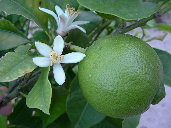 DRIFTWOOD Key Lime / Mexican Lime Tree 5g  for walk in purchase at our DRIFTWOOD  Flash Garden